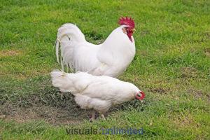 White Leghorn, Domestic Chicken, Cockerel with Hen standing on Grass
